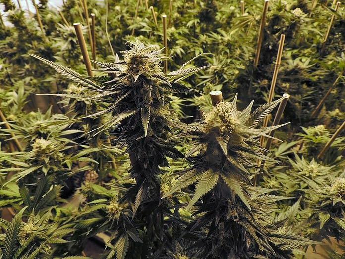 weed, cannabis